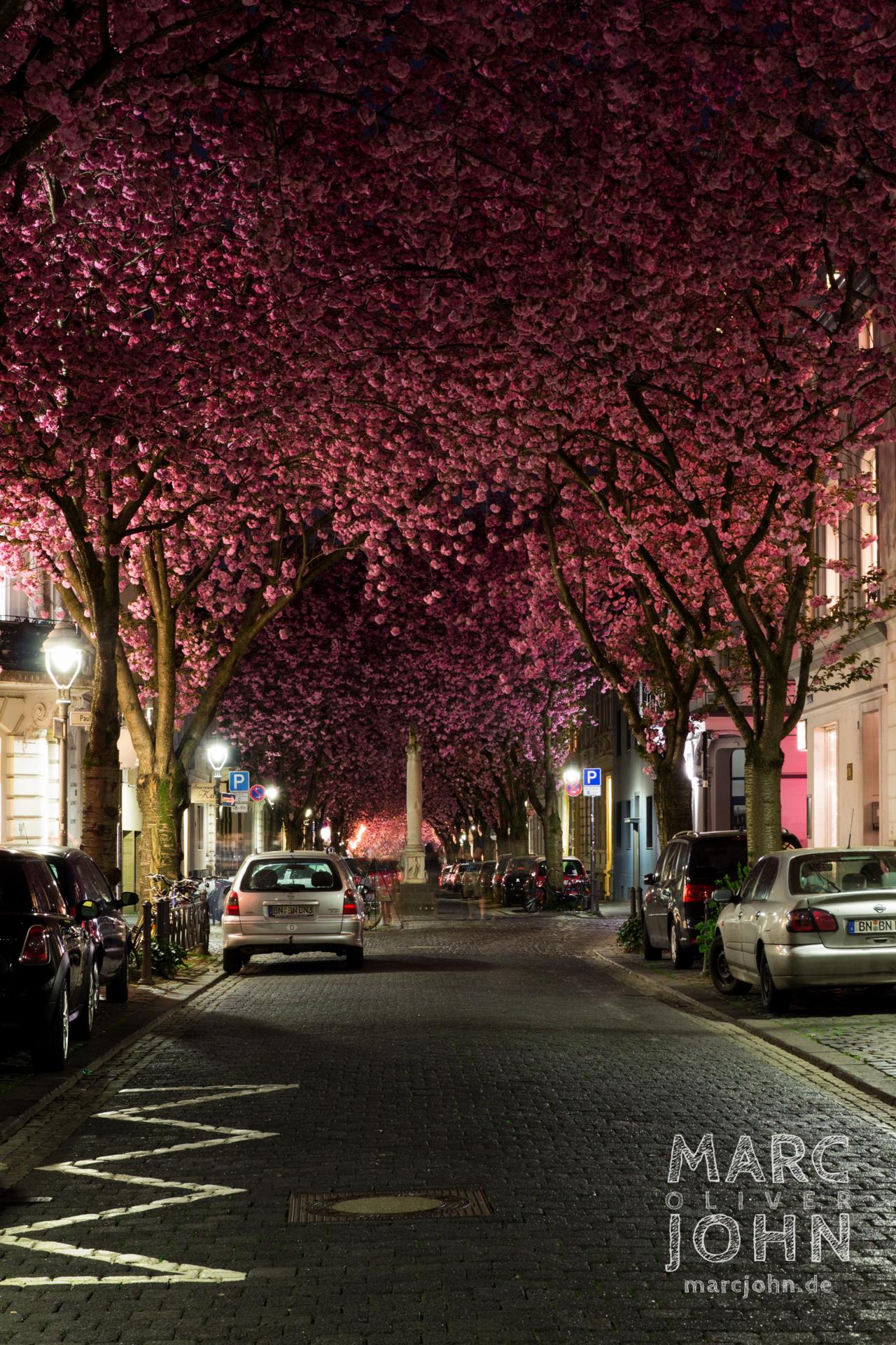 Bonn, Heerstraße - Kirschblüten in voller Pracht
