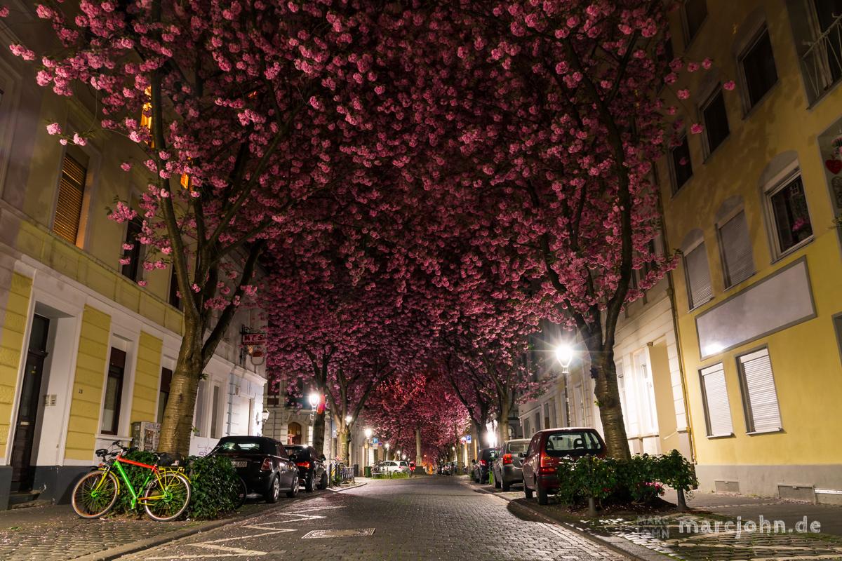 Kirschblüten in der Bonner Heerstrasse - Cherry Blossom Avenue